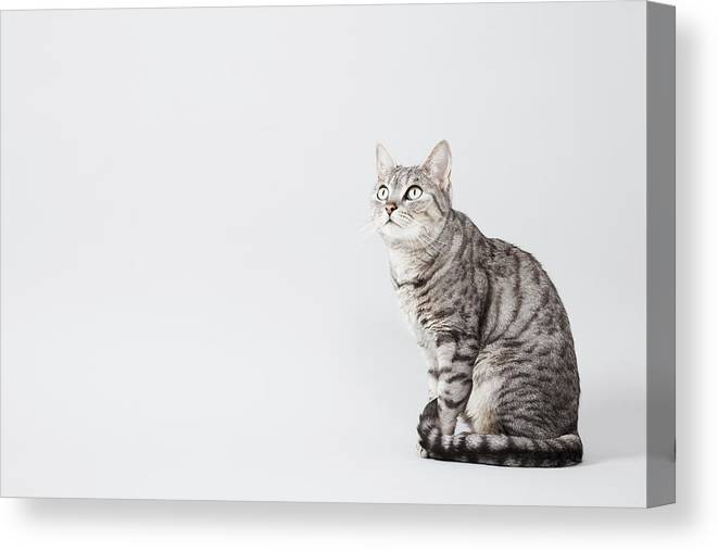 Pets Canvas Print featuring the photograph Cat Looking Up by Lisa Stirling