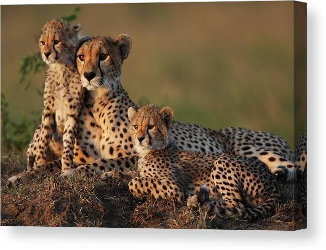 Kenya Canvas Print featuring the photograph Cheetah Family by Gp232