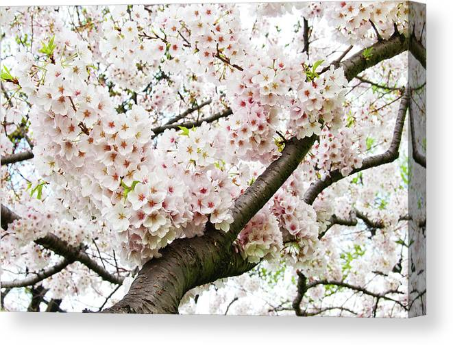 Outdoors Canvas Print featuring the photograph Cherry Blossom by Sky Noir Photography By Bill Dickinson