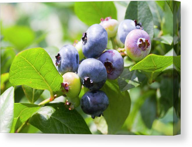 Yamanashi Prefecture Canvas Print featuring the photograph Close-up Of Blueberry Plant And Berries by Daisuke Morita