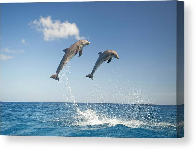 Aerodynamic Canvas Print featuring the photograph Common Bottlenose Dolphins Tursiops by Mike Hill