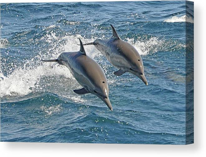 Diving Into Water Canvas Print featuring the photograph Common Dolphins Leaping by Tim Melling