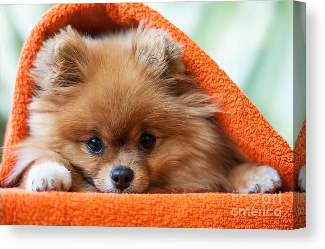 Gift Canvas Print featuring the photograph Cute And Funny Puppy Pomeranian Smiling by Barinovalena