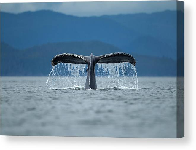 Diving Into Water Canvas Print featuring the photograph Diving Humpback Whale, Alaska by Paul Souders
