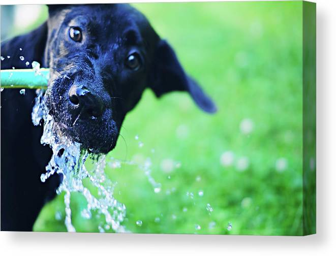 Pets Canvas Print featuring the photograph Dog Drinking From A Water Hose by Crissy Kight / Www.dearcrissy.com