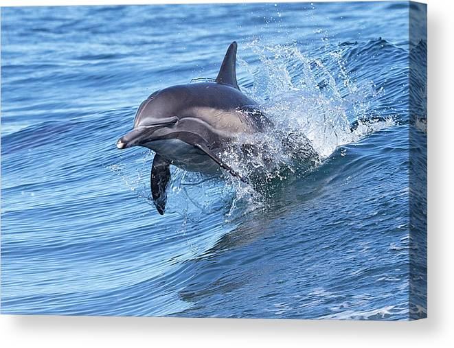 Wake Canvas Print featuring the photograph Dolphin Riding Wake by Greg Boreham (treklightly)