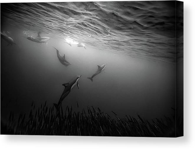 Underwater Canvas Print featuring the photograph Dolphins Re-grouping Afterorchestrated by Paul Cowell Photography