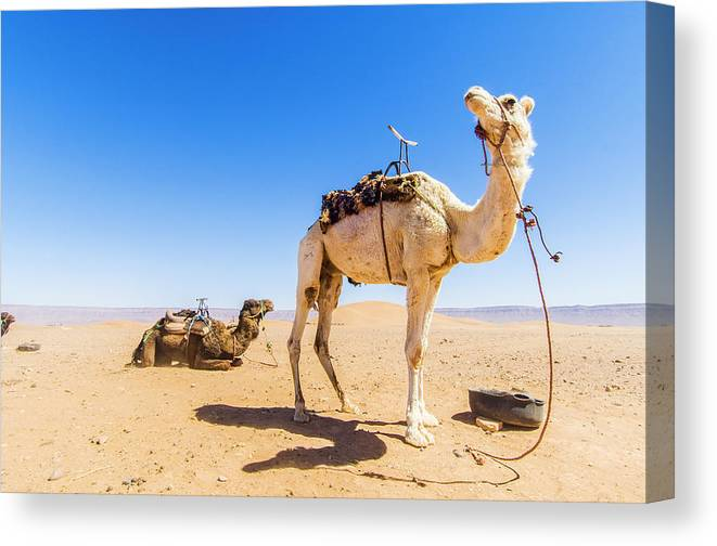 Working Animal Canvas Print featuring the photograph Draa Valley, Camel At Tinfou by Maremagnum