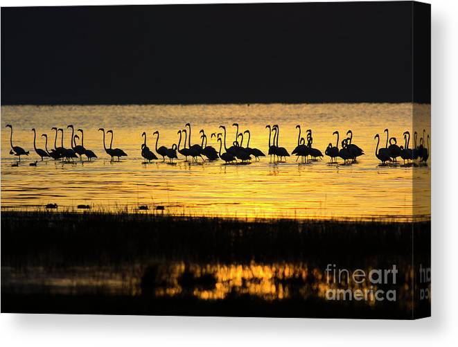 Water's Edge Canvas Print featuring the photograph Flamingos At Dawn by Wldavies