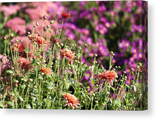 Flowerbed Canvas Print featuring the photograph Flowerbed With Michaelmas Daisies by Schnuddel