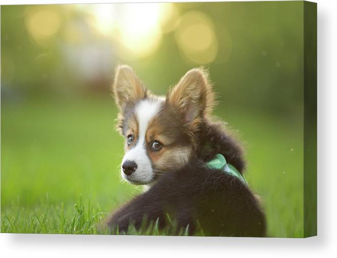 Pets Canvas Print featuring the photograph Fluffy Corgi Puppy Looks Back by Holly Hildreth