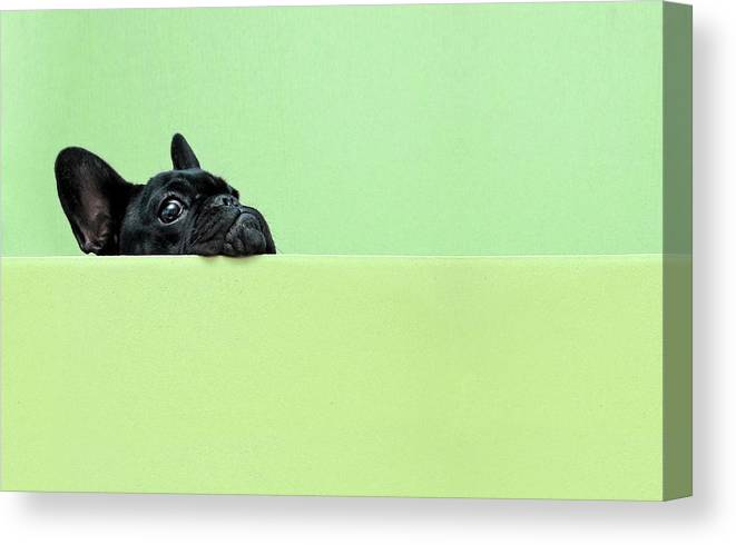 Pets Canvas Print featuring the photograph French Bulldog Puppy by Retales Botijero
