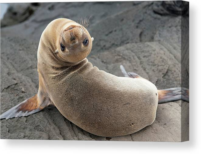 Looking Over Shoulder Canvas Print featuring the photograph Fur Seal Otariidae Looking Back Upside by Keith Levit / Design Pics