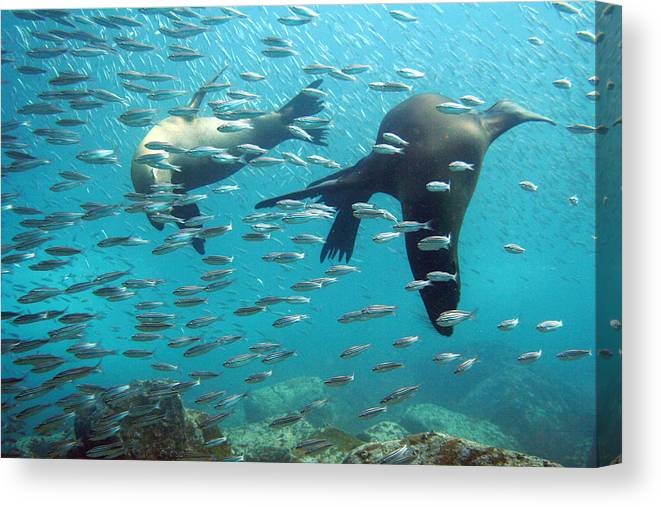 Underwater Canvas Print featuring the photograph Galapagos Sea Lion by Bettina Lichtenberg
