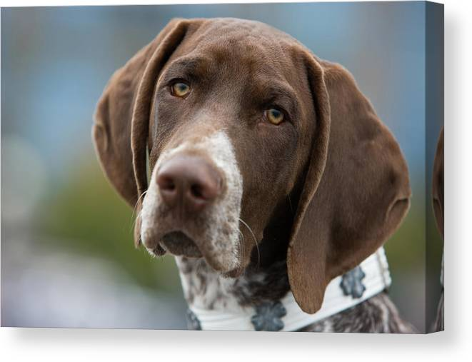 Pets Canvas Print featuring the photograph German Shorthair Pointer With Building by Markhatfield