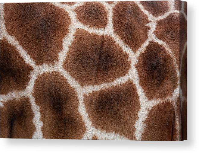 Animal Skin Canvas Print featuring the photograph Giraffes Skin Texture by Andrew Dernie