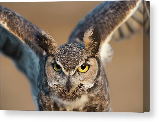 Bird Of Prey Canvas Print featuring the photograph Great-horned Owl Bubo Virginianus by Design Pics / David Ponton