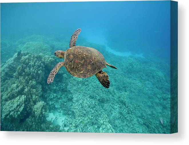 Underwater Canvas Print featuring the photograph Green Sea Turtle, Big Island, Hawaii by Paul Souders