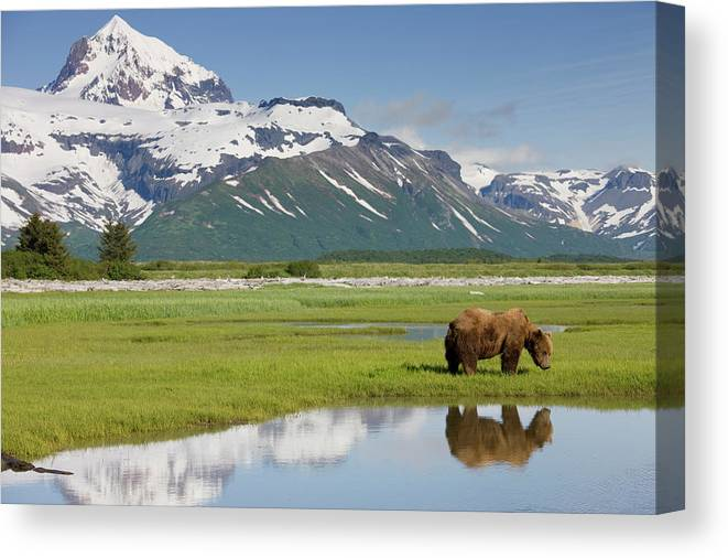 Brown Bear Canvas Print featuring the photograph Grizzly Bear, Katmai National Park by Paul Souders