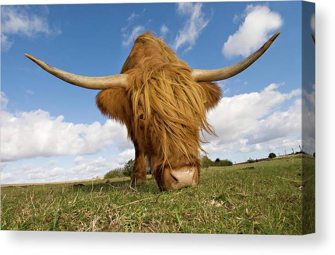 Horned Canvas Print featuring the photograph Hairy, Horned, Highland Cow Grazing by Clarkandcompany