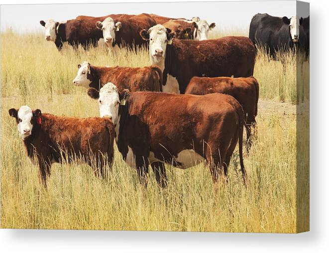 Non-moving Activity Canvas Print featuring the photograph Hereford Cow Farm Pasture Livestock by Chuckschugphotography