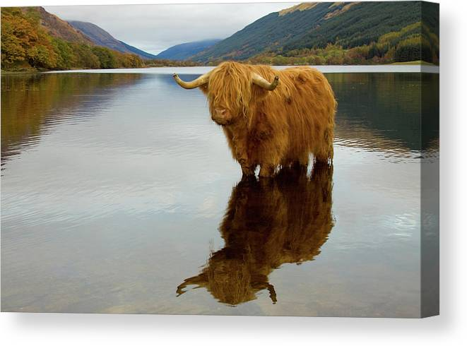 Horned Canvas Print featuring the photograph Highland Cow by Empato