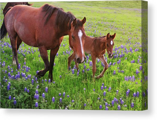 Horse Canvas Print featuring the photograph Horse On Bluebonnet Trail by David Hensley