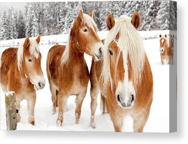 Horse Canvas Print featuring the photograph Horses In White Winter Landscape by Angiephotos