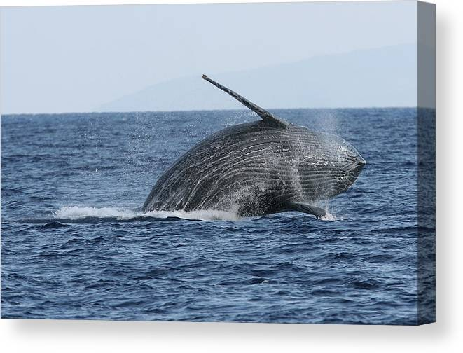 Animal Canvas Print featuring the photograph Humpback Whale Breach 2 Of 3 by Adwalsh