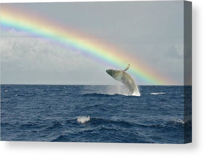 Lahaina Canvas Print featuring the photograph Humpback Whale Rainbow Breach by Share Your Experiences