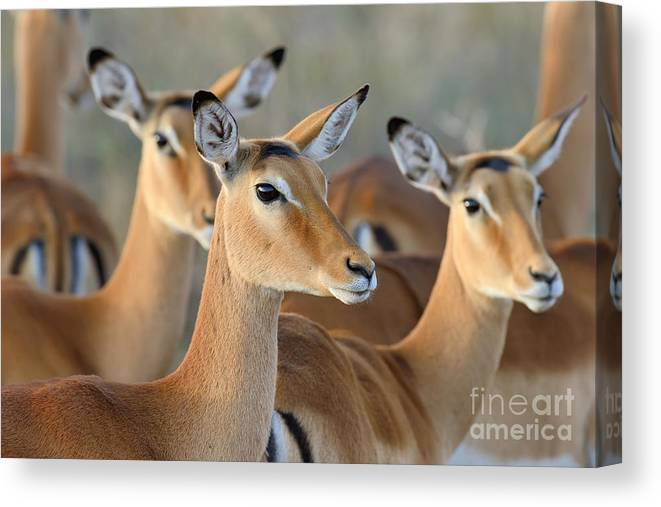 Deer Canvas Print featuring the photograph Impala On Savanna In National Park by Volodymyr Burdiak