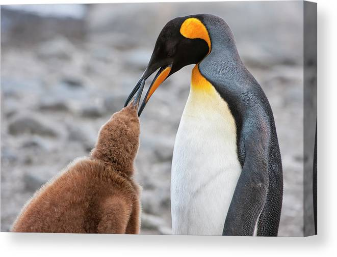 Care Canvas Print featuring the photograph King Penguin Feeding A Chick by Gabrielle Therin-weise