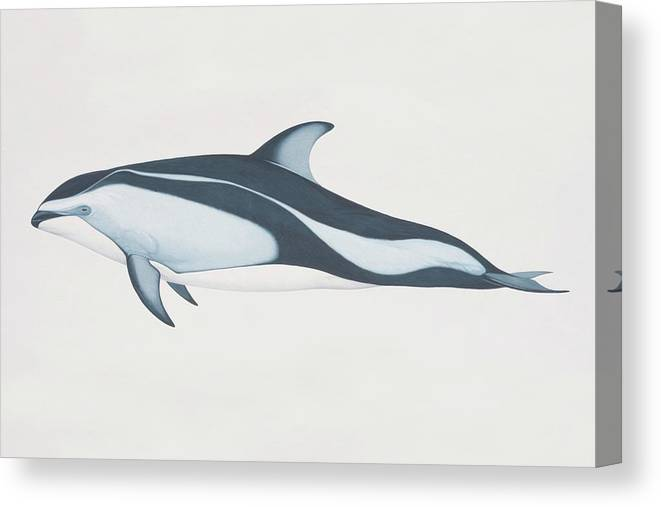 White Background Canvas Print featuring the digital art Lagenorhynchus Obliquidens, Pacific by Martin Camm