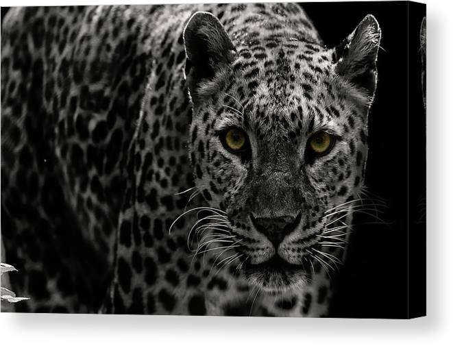 Big Cat Canvas Print featuring the photograph Leopard by Somak Pal