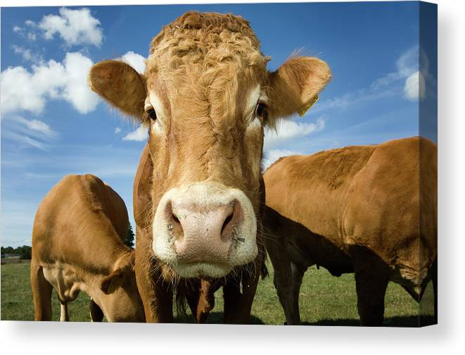 Cow Canvas Print featuring the photograph Limousin Bull by Clarkandcompany