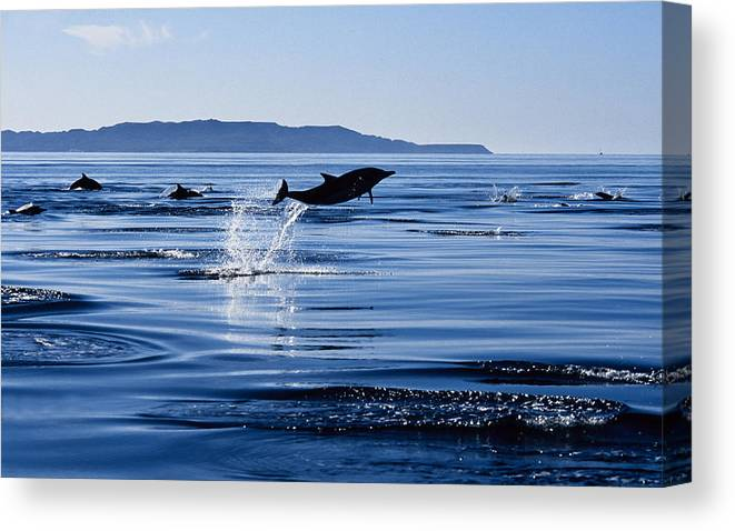 Latin America Canvas Print featuring the photograph Long-nosed Common Dolphin,delphinus by Gerard Soury