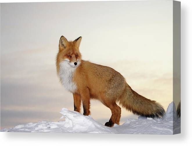 Black Color Canvas Print featuring the photograph Majestic Fox by Dmitrynd