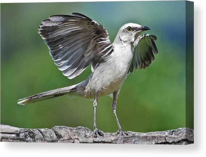 Animal Themes Canvas Print featuring the photograph Mimus Gilvus by Photo By Priscilla Burcher