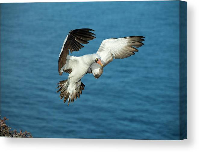 Animals Canvas Print featuring the photograph Nazca Booby Landing At Gardner Inlet by Tui De Roy