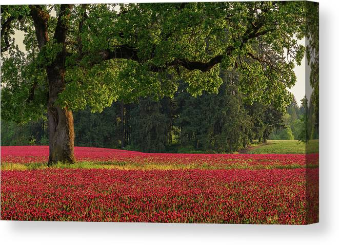 Scenics Canvas Print featuring the photograph Oak Tree In Red Clover Field by Jason Harris
