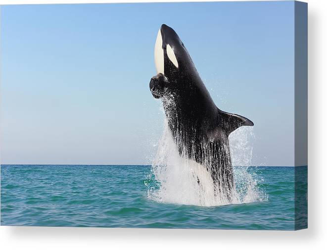 Three Quarter Length Canvas Print featuring the photograph Orca Jumping Out Of Water by Martin Ruegner