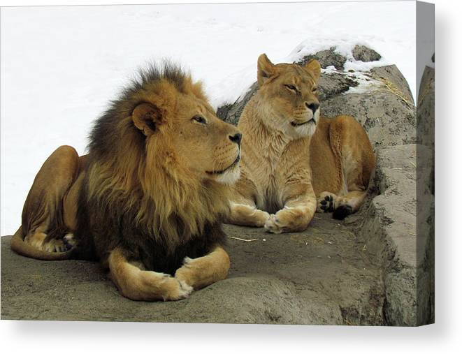 Animal Themes Canvas Print featuring the photograph Pair Of Lions by Images By Nancy Chow
