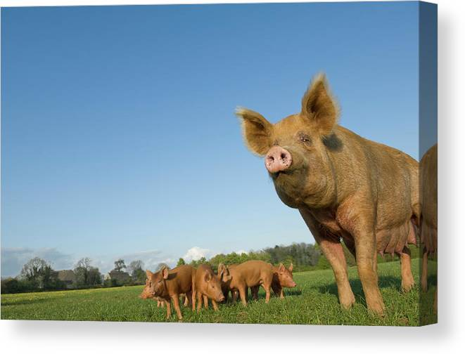 Pig Canvas Print featuring the photograph Pig In Field by Henry Arden