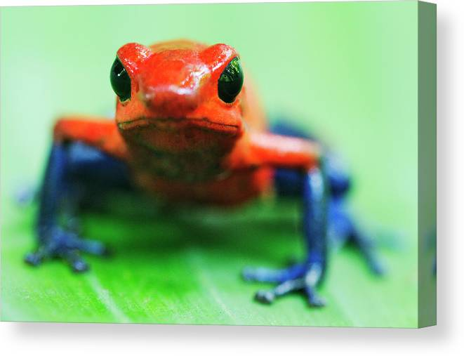 Animal Themes Canvas Print featuring the photograph Poison Dart Frog by Jeremy Woodhouse