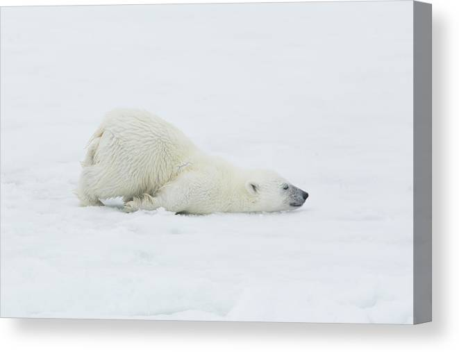 Svalbard Islands Canvas Print featuring the photograph Polar Bear Cub Stretching Out On Ice by Darrell Gulin