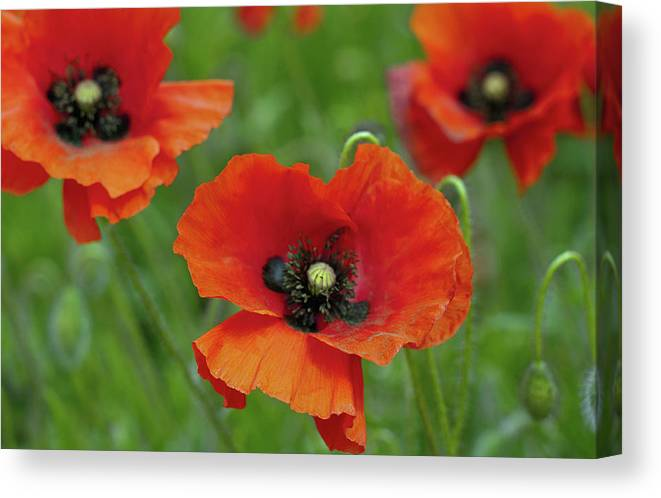 Petal Canvas Print featuring the photograph Poppies by Photo By Judepics