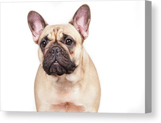 Pets Canvas Print featuring the photograph Portrait Of A French Bulldog by @hans Surfer