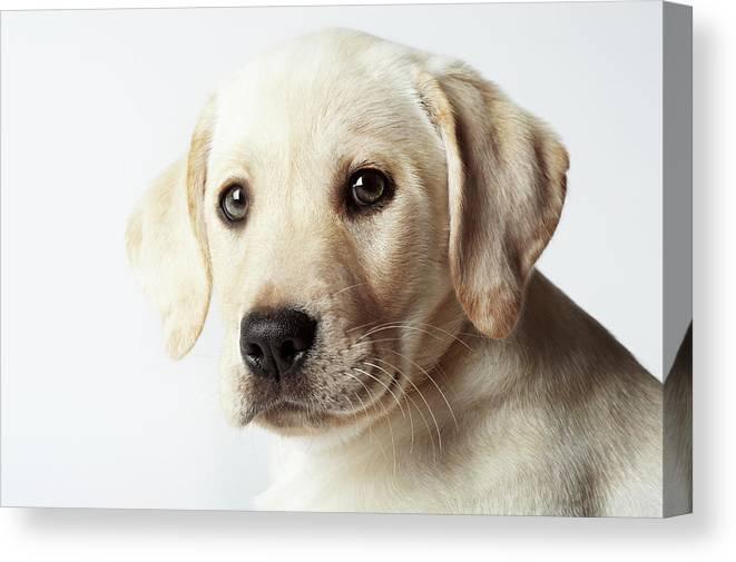 White Background Canvas Print featuring the photograph Portrait Of Blond Labrador Retriever by Uwe Krejci