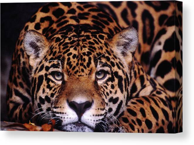 Latin America Canvas Print featuring the photograph Portrait Of Jaguar, Brazil by Mark Newman