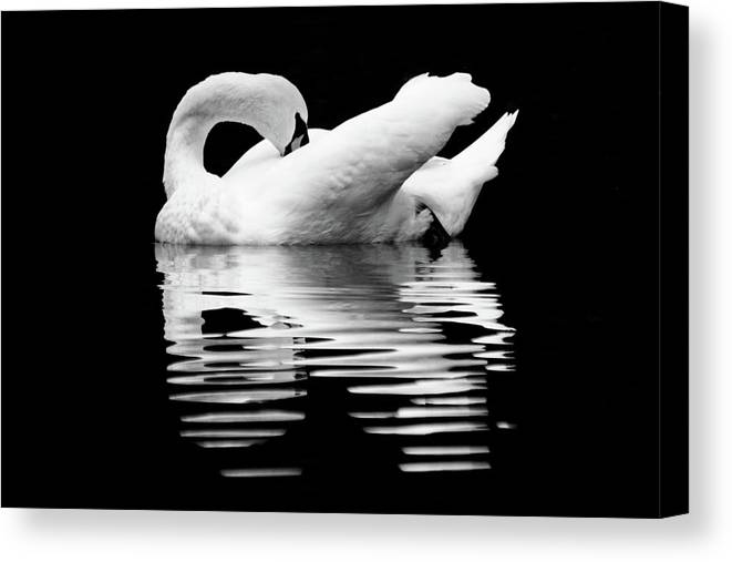 Mute Swan Canvas Print featuring the photograph Preening Mute Swan Black And White by Mary Ann Artz